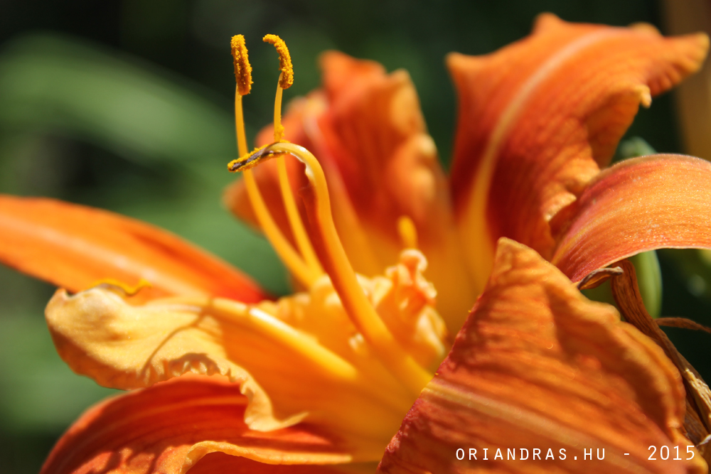 Orangeflower, and petals. Photoshot taken at Bélatelep, Hungary July of 2015.