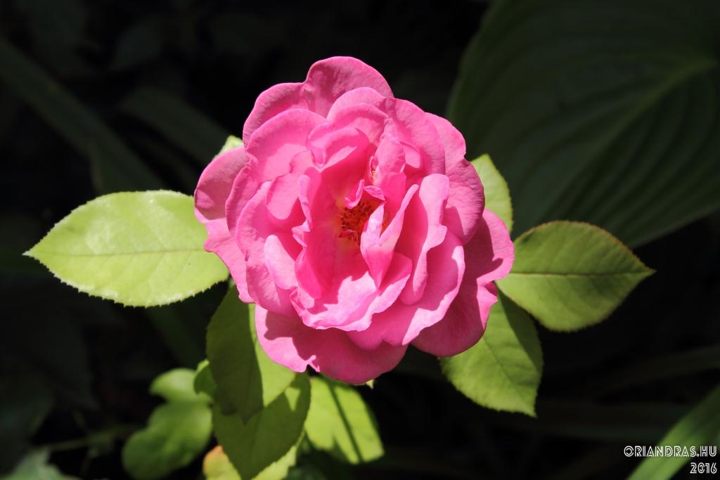 #rózsa #rose #flowerphotography
