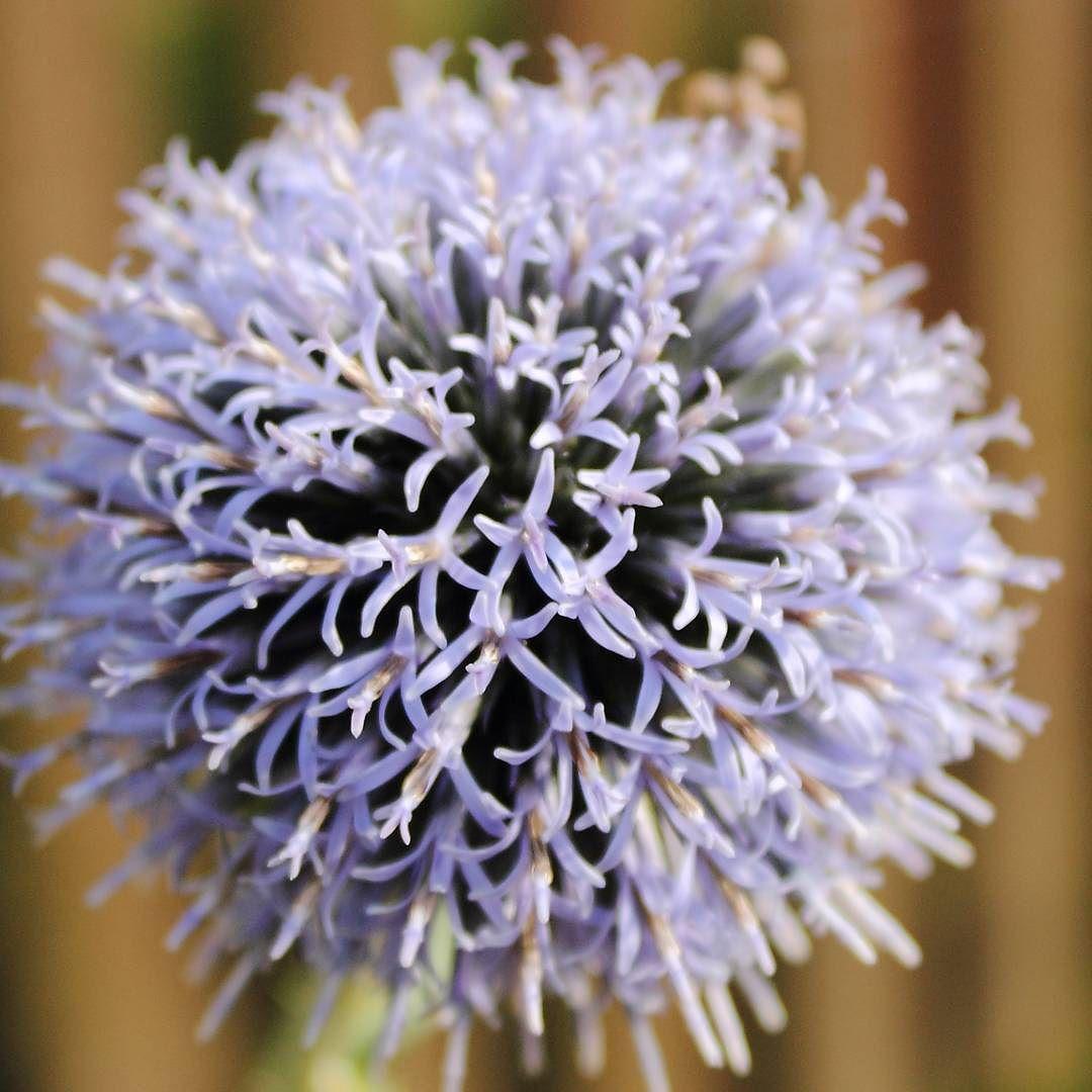 Gömb-virág